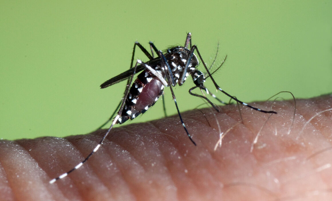 Aedes albopictus female. © ECDC/Francis Schaffner