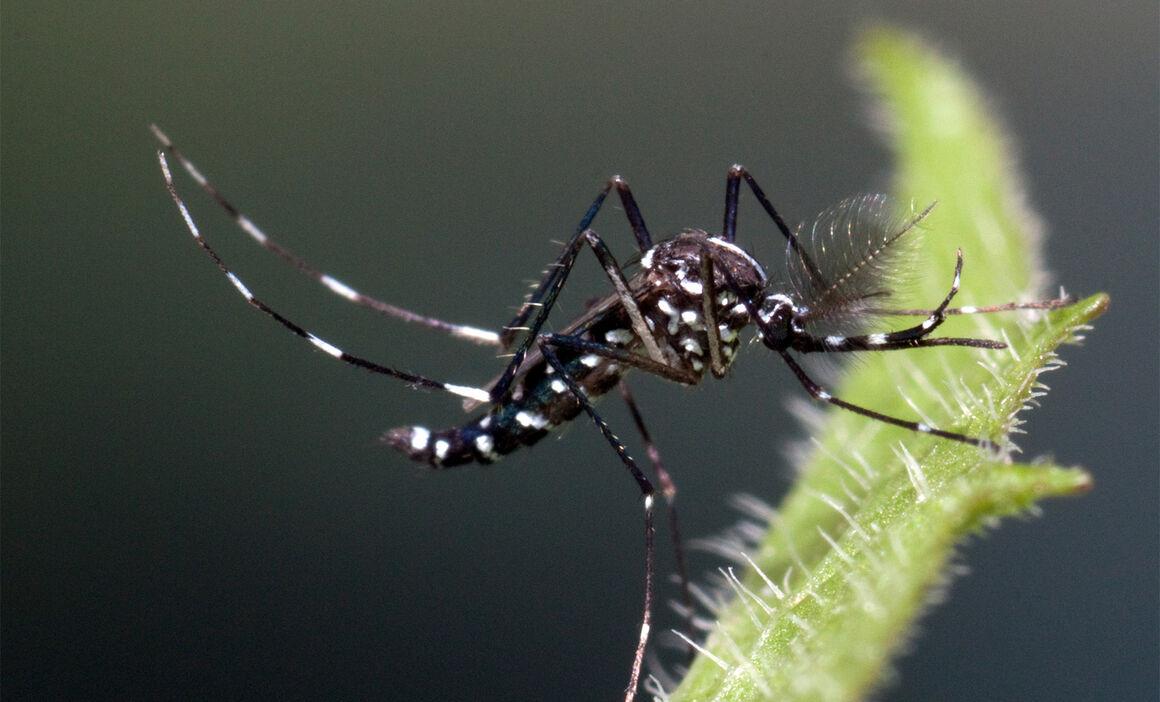 Aedes albopictus male. © ECDC/Francis Schaffner