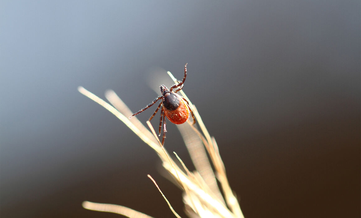 Ixodes Ricinus female. © ECDC/Guy Hendrickx