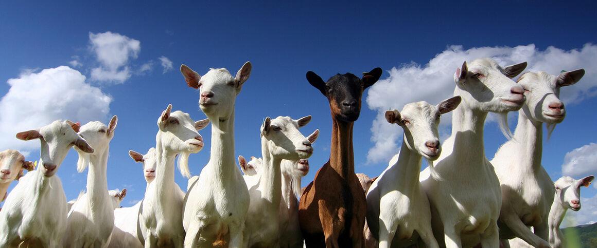 Goats. © Istock